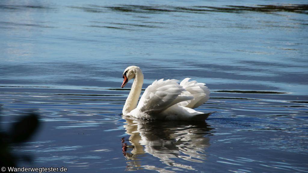 Schwan auf dem Lehnitzsee