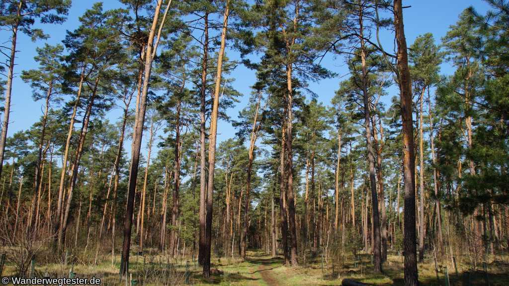 Müggelheimer Forst Seeadler